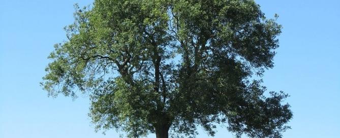 ashtree_featured